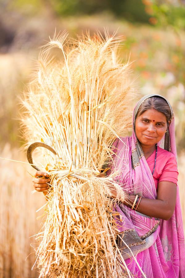 Woman in India harvest wheat stock photos