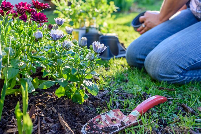 Woman Kneeling And Planting Colorful Spring Flowers In Garden Stock ...
