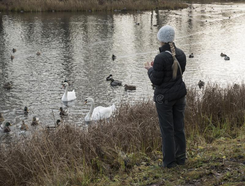 Woman on the lake feeds ducks and swans.  stock images