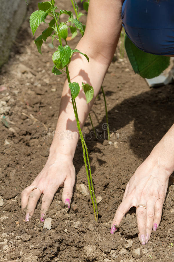 Woman leveling the ground after planting. The woman is leveling the ground after planting a sprout of pepper royalty free stock photography