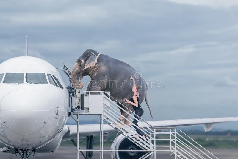 Woman loading elephant on board of plane royalty free stock photography