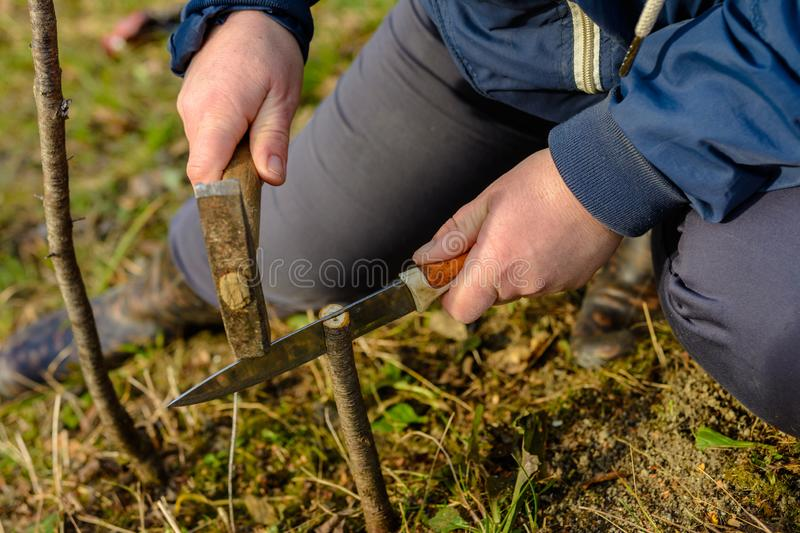 The woman makes a crack in the newly cut young tree for his vaccination with a knife and a hammer stock photos