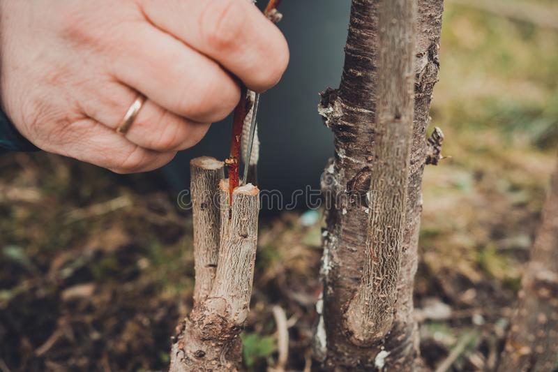 A woman makes a fruit tree in the garden and attaches a young twig stock image