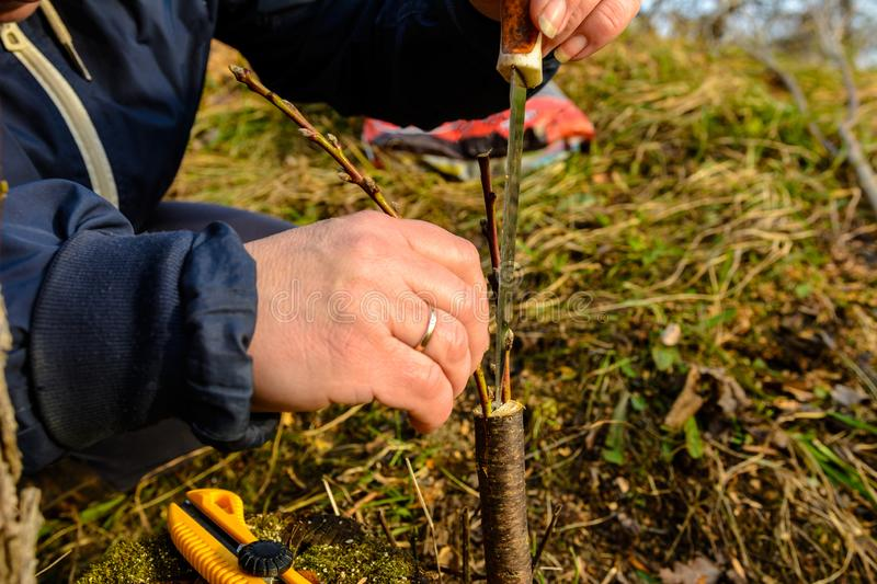 A woman makes a fruit tree in the garden and attaches a young twig stock photography