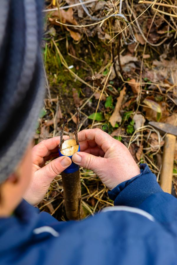 A woman makes a fruit tree in the garden and attaches a young twig royalty free stock photo
