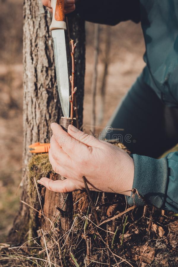 A woman makes a fruit tree in the garden and attaches a young twig stock images