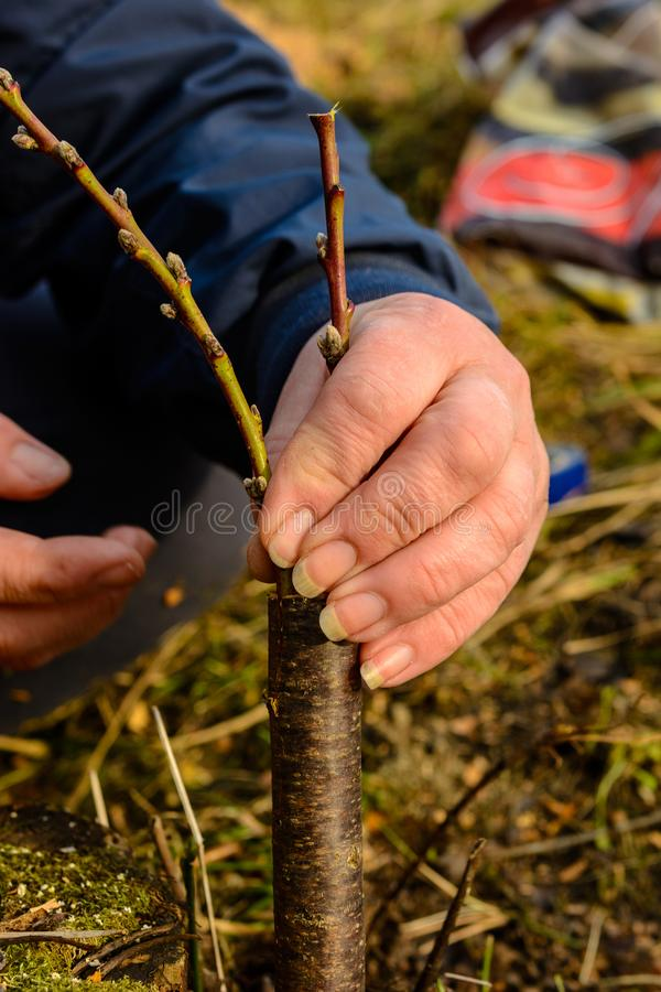 A woman makes a fruit tree in the garden and attaches a young twig stock photo