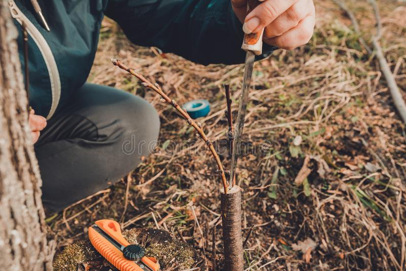 A woman makes a fruit tree in the garden and attaches a young twig royalty free stock images