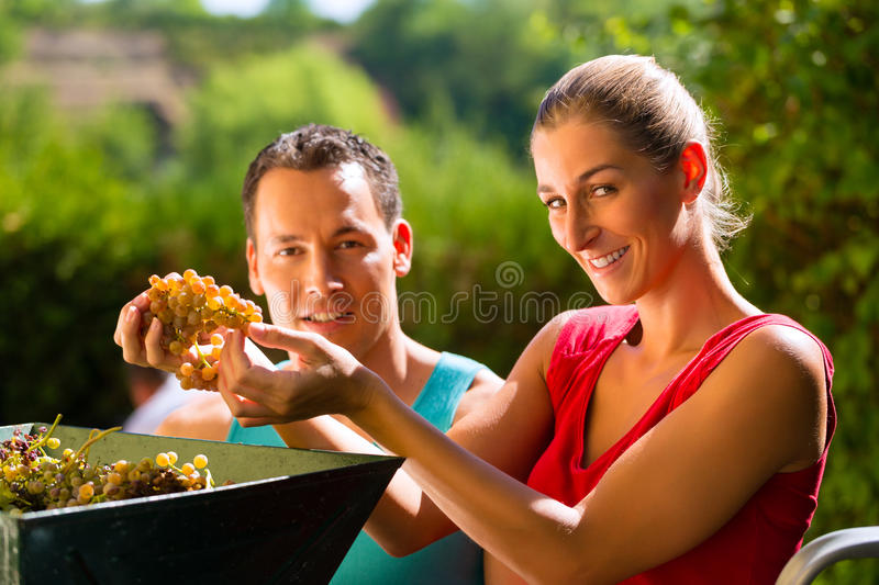 Download Woman And Man Working With Grape Harvesting Machine Stock Photo - Image: 32187720
