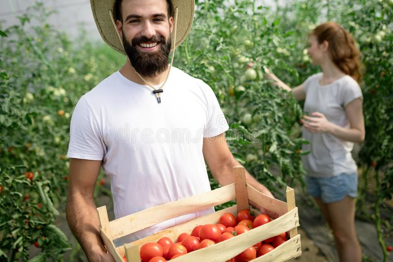 Two people collect pick up the harvest of tomato in greenhouse stock photography