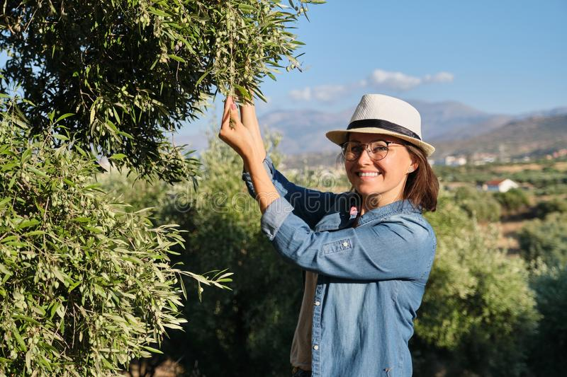 Woman in an olive grove, unripe olive crop royalty free stock images