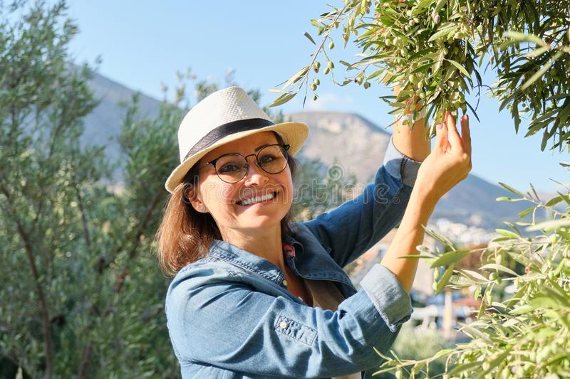 Woman in an olive grove, unripe olive crop. Woman in an olive grove, autumn sunny day in mountain Mediterranean landscape, unripe olive crop royalty free stock image