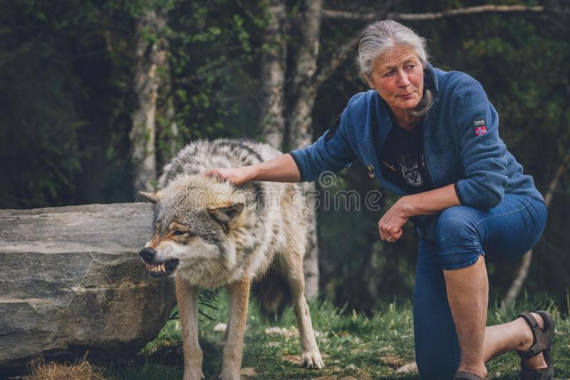 Woman pets angry wolf royalty free stock images