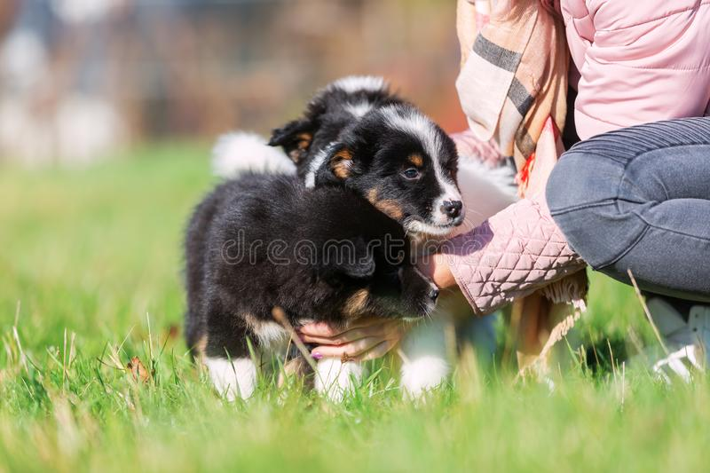 Woman pets cute Elo puppies royalty free stock image
