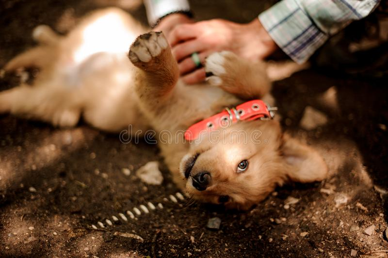 Woman petting a cute ginger color dog lying on the ground royalty free stock photo