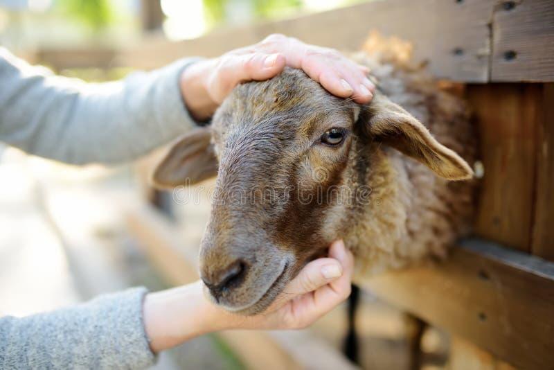 Woman petting sheep. People in petting zoo. Person having fun in farm with animals. Fun for urban citizen stock photography