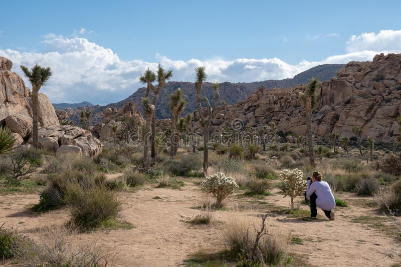 Woman photographer kneels to take photos of a cholla cactus in Joshua Tree National Park, wearing casual clothing.  royalty free stock photography
