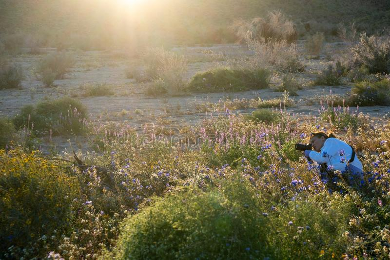 Woman photographer takes photos of a wildflower field in California at Joshua Tree National Park in the Mojave Desert during a. Superbloom stock image