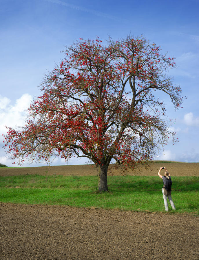 Woman photographing an autumnal pear tree royalty free stock image
