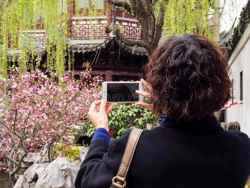 Woman photographing cherry blossoms with cellphone in Chinese garden royalty free stock image