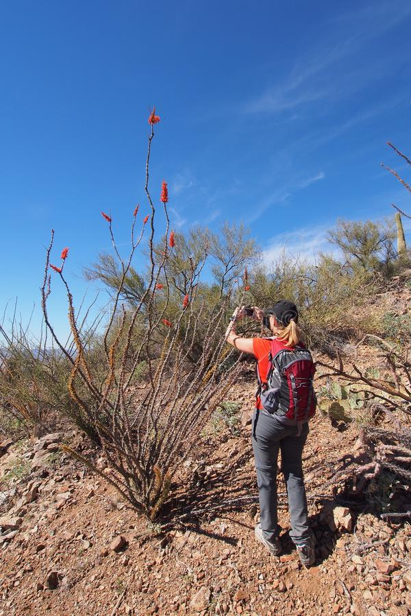 Woman photographing desert wildflowers in Saguaro National Park. stock photo
