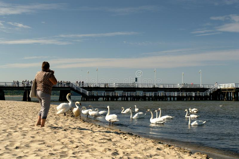 Woman photographing swans stock photo