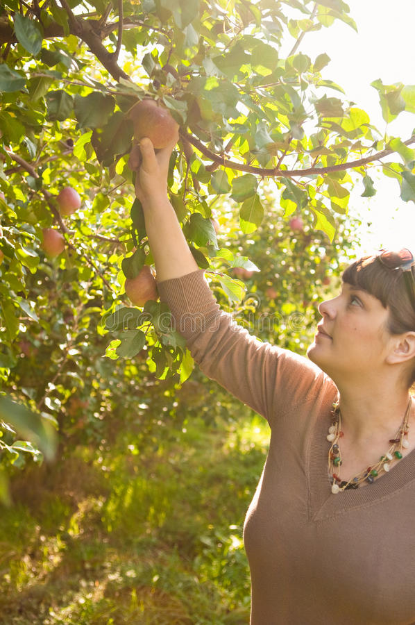 Woman Picking An Apple From A Tree royalty free stock photo