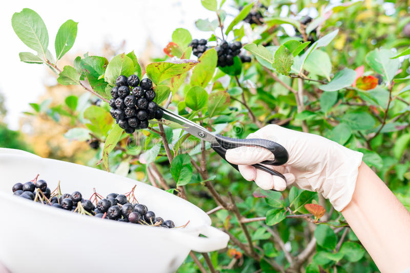 Woman picking chokeberry / aronia fruits stock photography