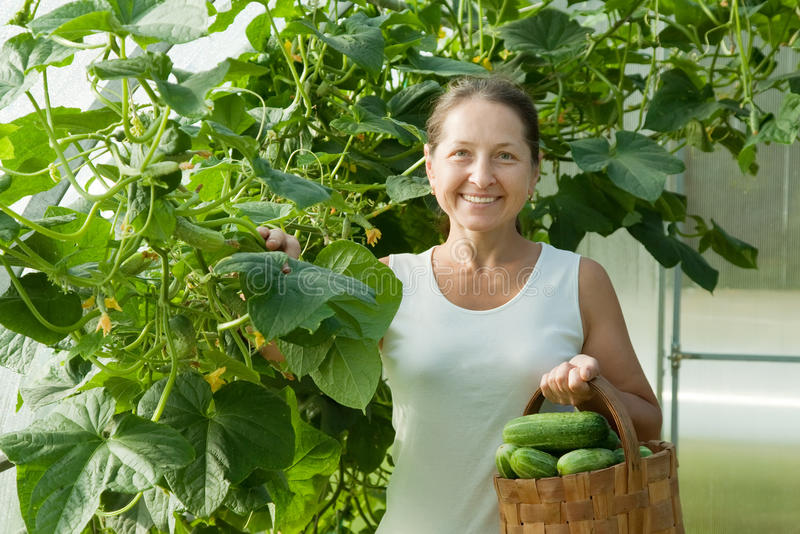 Woman picking cucumbers stock image
