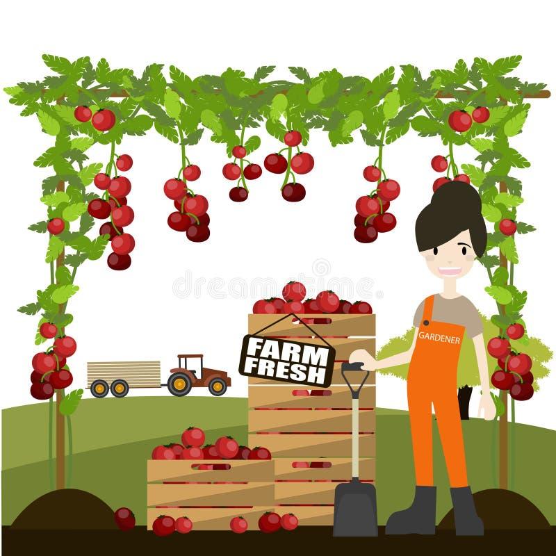 Woman picking fresh tomatoes royalty free stock photo