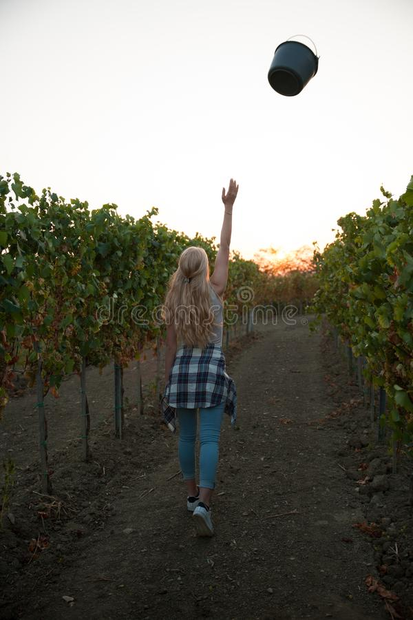 Woman picking grape during wine harvest in vineyard on late autumn afternoon.  stock photos