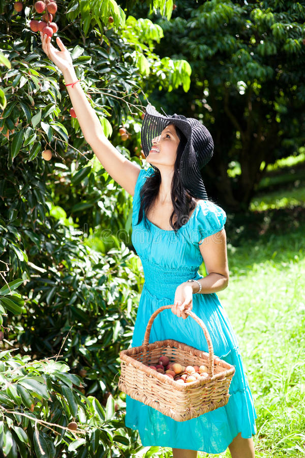 Woman picking litchis stock photography