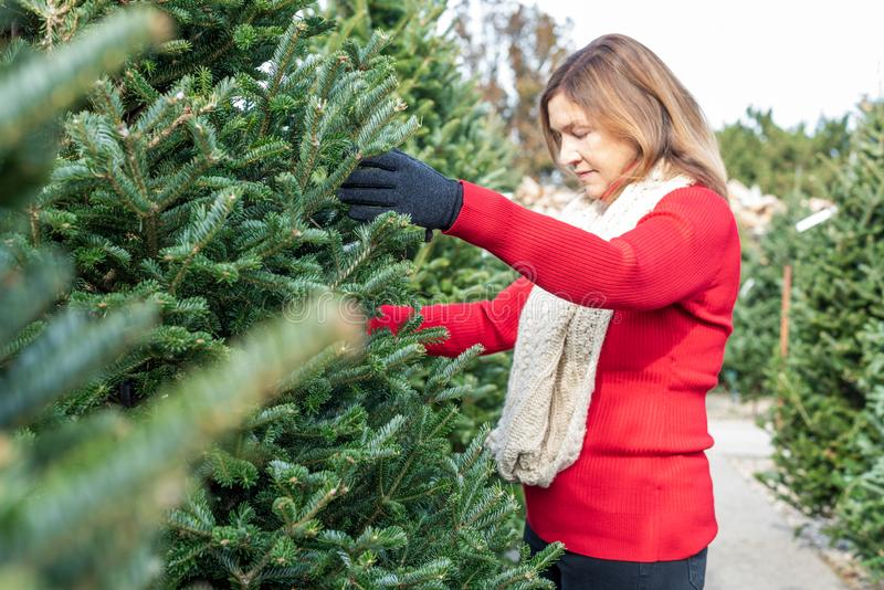 Woman picking out a live Christmas tree royalty free stock image
