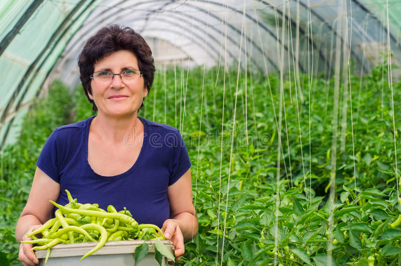 Woman picking peppers from garden royalty free stock photo
