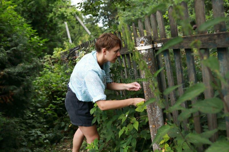 Woman picking raspberries stock photo