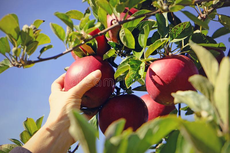Woman picking red apples off the tree. Image of a womans hand reaching up to pick fresh red organic apples off the tree in a farmers orchard stock image