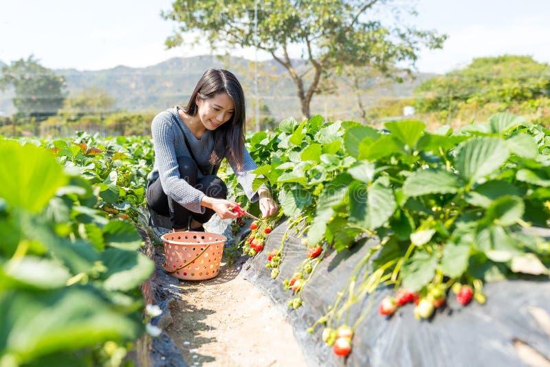 Woman picking strawberry stock photography