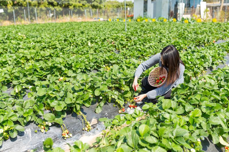 Woman picking strawberry in meadow royalty free stock photos