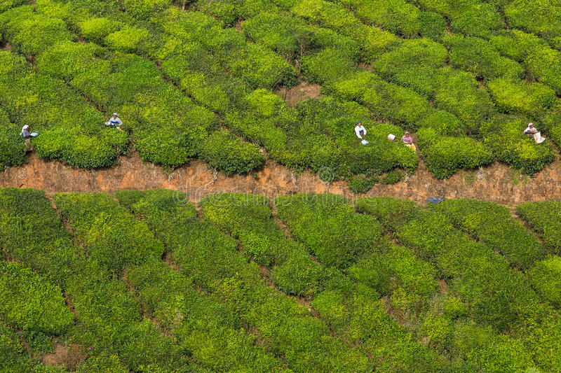 Woman picking tea leaves in a tea plantation around Munna stock images