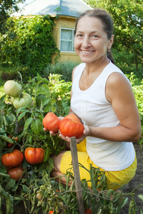 Woman picking tomato stock photos