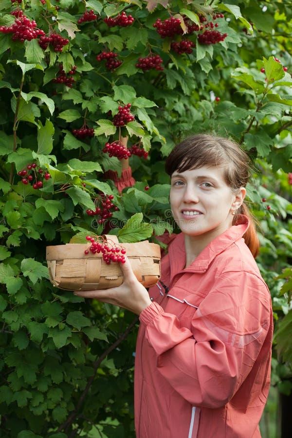 Woman picking viburnum royalty free stock photos