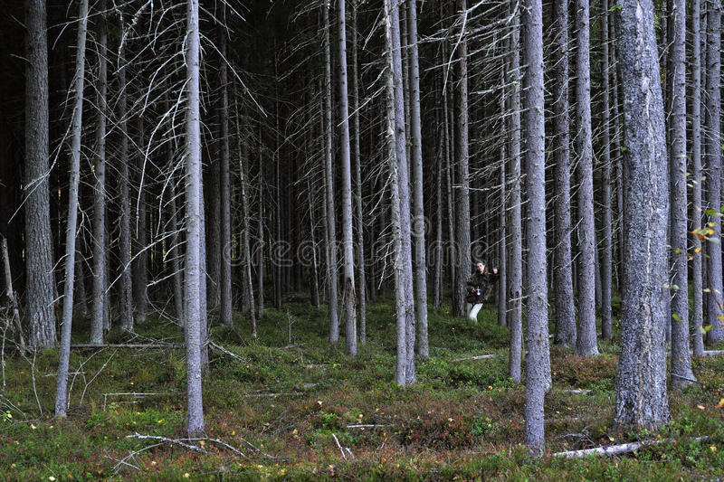Woman in pine thicket. Coniferous thicket in twilight royalty free stock images