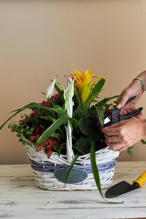 Woman placing different flowers in a wicker basket stock image