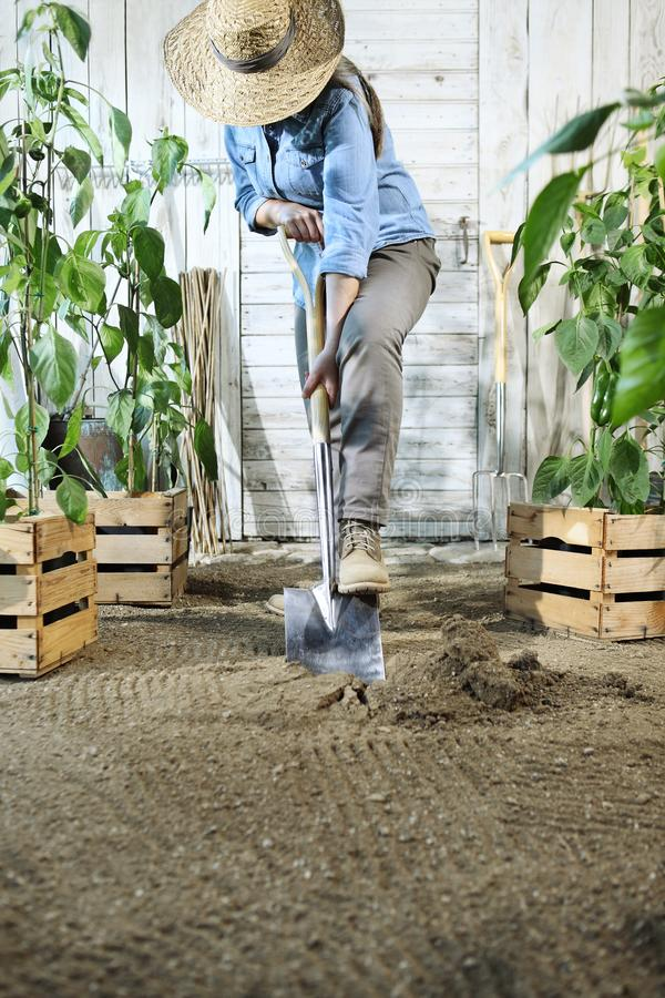 Woman plant in the vegetable garden, work by digging spring soil with shovel, near boxes full of sweet pepper plants stock photo