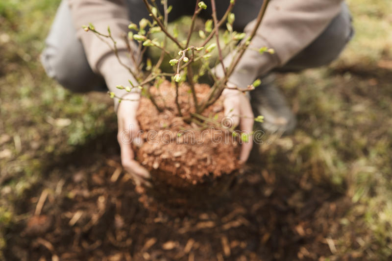 Woman planting a bush in the garden, little blueberry bush royalty free stock images