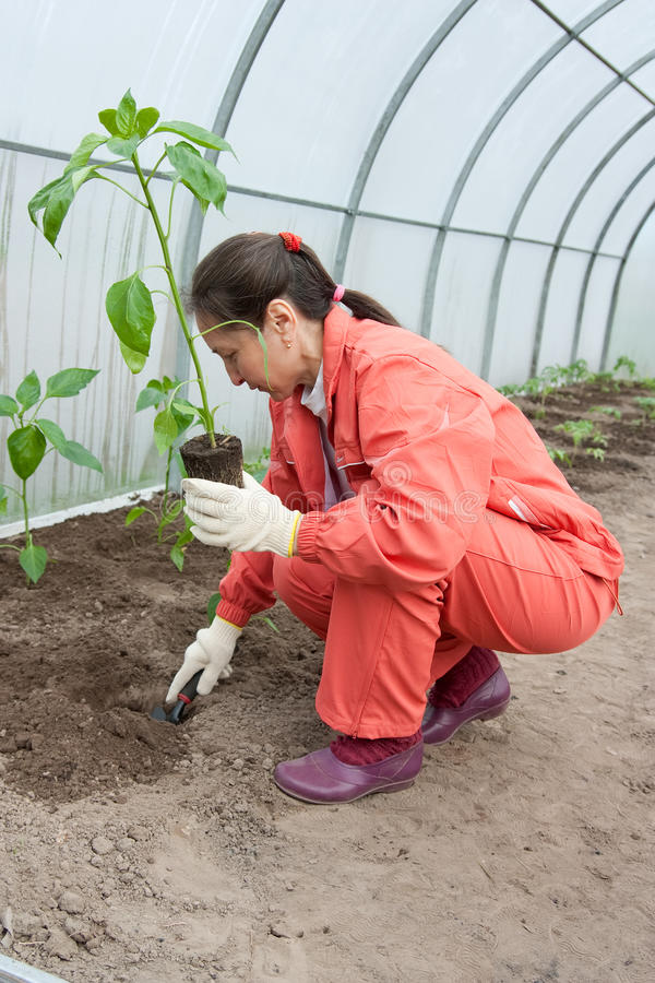 Woman planting pepper seedlings stock photography