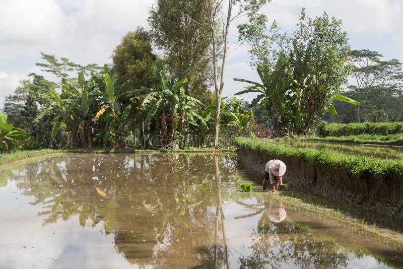 Woman planting rice on Bali, Indonesia stock photo