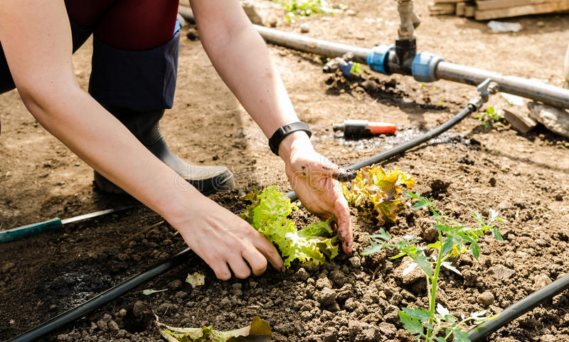 Woman planting salad stock images