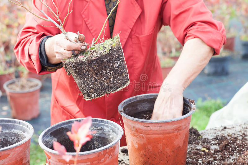 Woman planting young tree into a pot royalty free stock photography