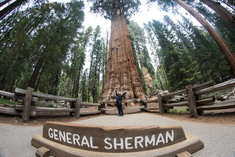 Woman poses in front of the General Sherman tree in Sequoia National Park to show scale stock photography